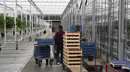 s-Gravenzande, The Netherlands - April 24, 2018: Strawberry Greenhouse with some workers with rows of strawberries and strawberry flowers. Wideo