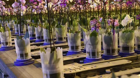 ekili : Honselersdijk, The Netherlands - January 5, 2018: Confeyer calling in a great modern orchid growing greenhouse in Westland, Holland. Stok Video