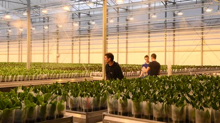 phalaenopsis : Honselersdijk, The Netherlands - January 5, 2018: Workers in a great modern orchid growing greenhouse in Westland, Holland.