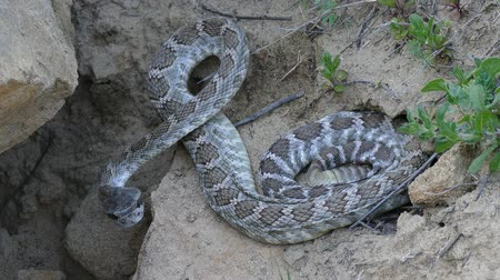 cobra : Western Diamondback Rattlesnake on the move. Vídeos