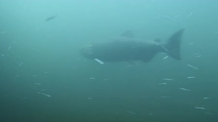 ryba : Salmon Swimming Underwater