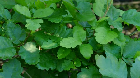 veneno : Poison Oak Bush Close Up Detail with Zoom Out