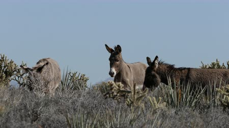 burro : Wild Burros in the Mojave Desert Stock Footage