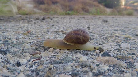 salyangoz : Snail crossing road pavement macro time lapse.