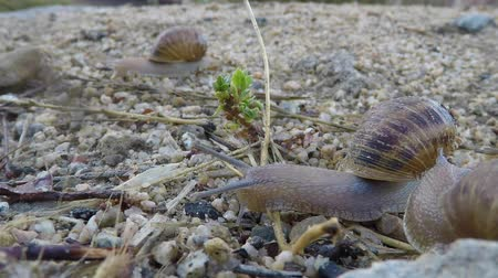 salyangoz : Snail Crossing Macro Time Lapse Stok Video