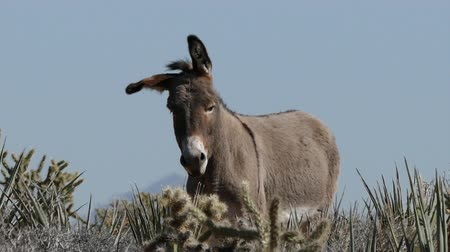 flâmula : Wild Mojave Desert Burros in Southern Nevada. Stock Footage