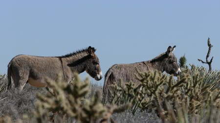 burro : Wild Burros at Red Rock National Conservation Area near Las Vegas in Nevada.