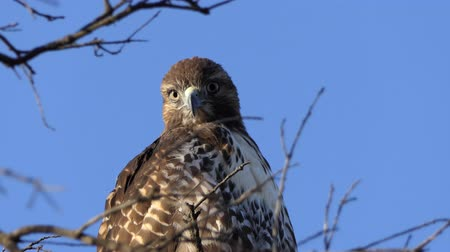sas : Close up with zoom of Red-tailed hawk looking for prey.  Shot at Rocky Peak Park in Ventura County, California.