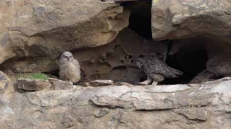 rochoso : Mother California Great Horned Owl walking toward young Owlet in mountain cliff nest.  Shot in the Santa Susana Pass area of the west San Fernando Valley area in Los Angeles.