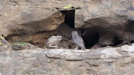 hnízdo : Mother California Great Horned Owl flies to Owlet in cliff side nest.  Shot in the Santa Susana Pass area of the west San Fernando Valley area in Los Angeles.
