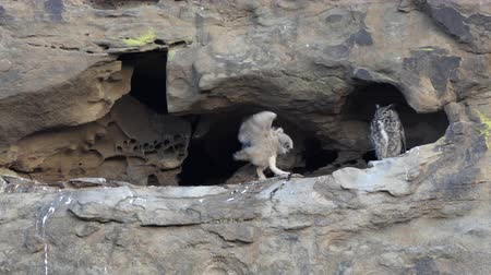 horned : California Great Horned Owlet flaps wings in cliff cave nest as Mother Owl watches.  Shot in the Santa Susana Pass area of the west San Fernando Valley area in Los Angeles. Stock Footage