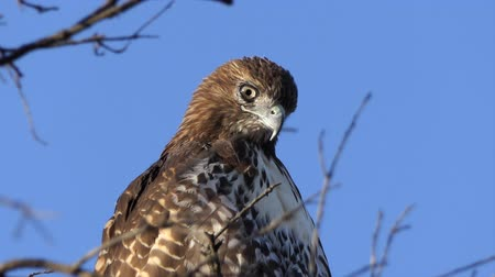 Close up with zoom of Red-tailed hawk looking for prey.  Shot at Rocky Peak Park in Ventura County, California.