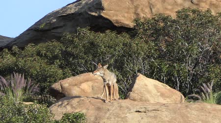 Howling coyote at Santa Susana Pass State Historic Park in Los Angeles, California.