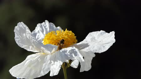 Busy Honey Bees working on Matilija Poppy Flower in Los Angeles California.