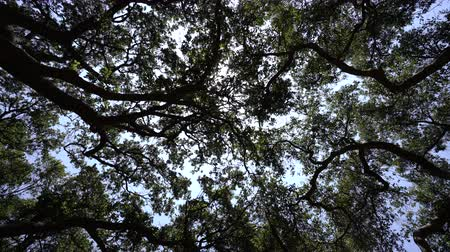 Abstract fast spinning shot of old oak tree grove canopy in Southern California. Stok Video