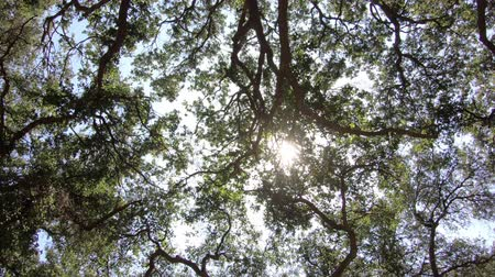 Old California oak tree grove canopy spinning shot with zoom in. Stok Video