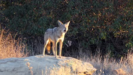 Wild coyote leaps up and barks at Santa Susana Pass State Historic Park in Los Angeles, California. Stok Video