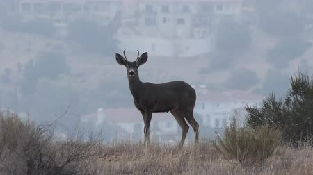 Young Buck on a ridge overlooking San Fernando Valley homes in Los Angeles, California.  Early morning view from Santa Susana Pass State Historic Park.