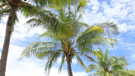 coconut palm tree : Palm Trees on the blue sky. Stock Footage