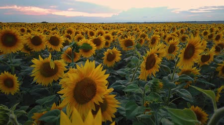 panorama of blooming sunflowers on a background sunset