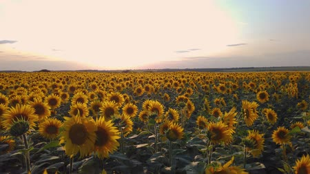 panorama of a field of flowering sunflowers on the background of a beautiful sunset