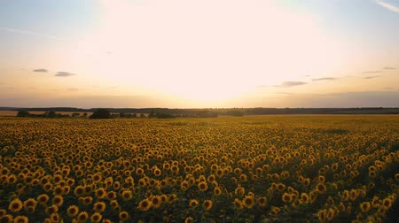Quadcopter takeoff over a field of flowering sunflowers on the background of a beautiful sunset