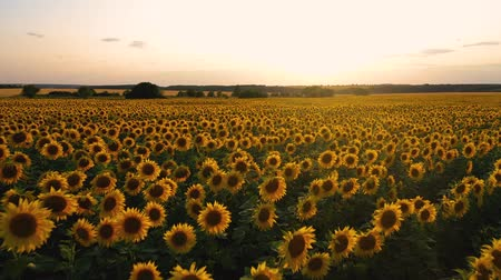 flying quadcopter over a field of flowering sunflower on the background of a beautiful sunset Stock mozgókép