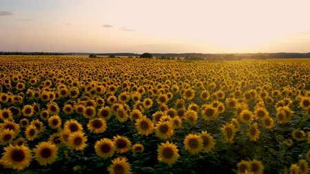 flying a quadcopter around a blooming sunflower on the background of a beautiful sunset