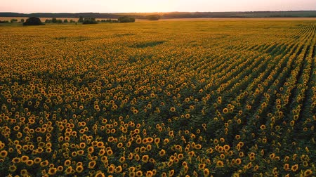 Top view of a field of flowering sunflower on the background of a beautiful sunset Stock mozgókép