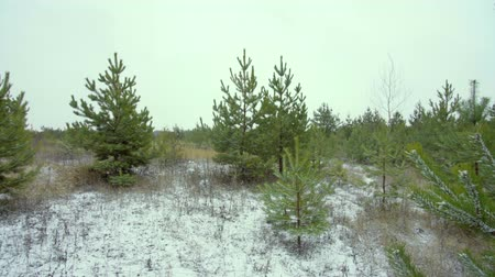 First snow in a young pine forest, panorama