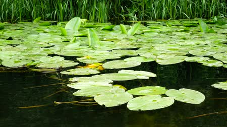 bushy : Passing by water lilies in the river on a swamp