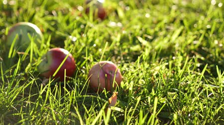 plywood : Apples falls and rolls on the grass against sunrise Stock Footage