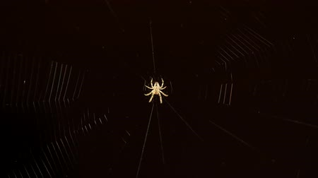 cross spider : Cross spider wearing the web
