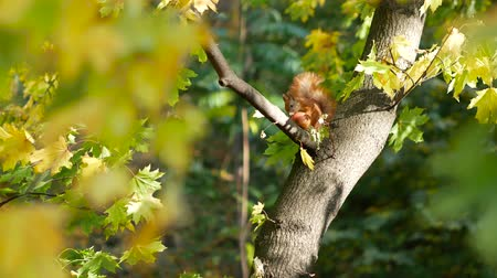 oturur : Cute red squirrel sits on the branch in the forest and eats an apple. Early autumn. Preparing for the winter concept