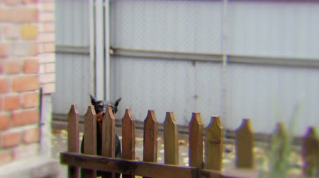 hostility : Angry doberman dog barks behind the fence. Beware of evil dog concept Stock Footage