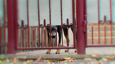 ter cuidado : Angry doberman dog barks behind the fence. Beware of evil dog concept Vídeos
