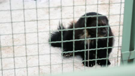 хищник : Wolverine sits in a zoo cage. Animal liberation concept