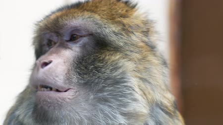 barbary : Magot ape magi yawning, shows jaw and all his teeth. Close up