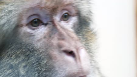 barbary : Extreme close up of barbary ape also known as magot. Monkey has incredibly smart look Stock Footage