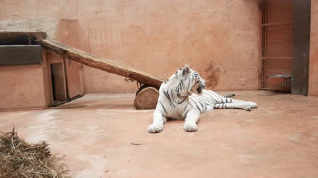 хищник : Big white bengal tiger yawns in a zoo cage. Overall plan