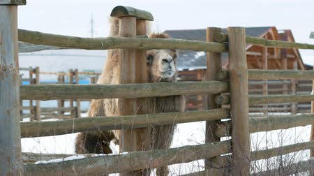 копытный : Camel looks out from under the fence. Public zoo in winter Стоковые видеозаписи