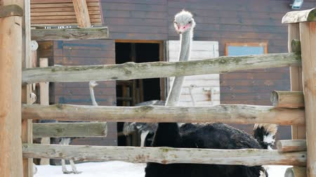 avestruz : Curious ostrich walking on an ostrich farm in winter