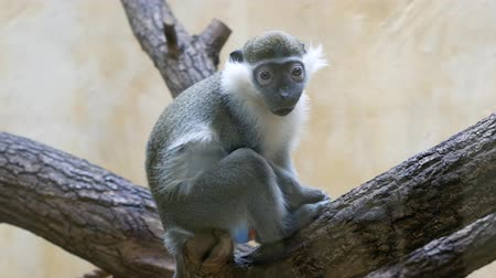 Серенгети : Weird vervet monkey with big eyes sits on a tree and then walks away