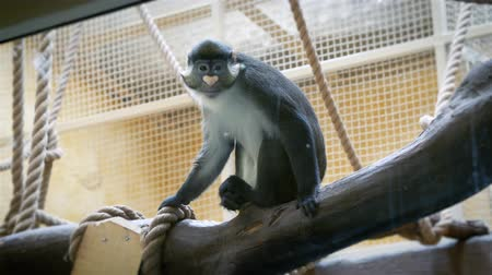 chlupatý : Spot-nosed monkey sitting on a branch in the aviary of the zoo and funny turns his head