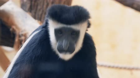Танзания : Colobus male looks into the camera through the glass at the zoo