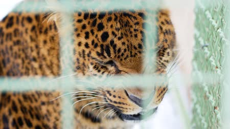 гул : Young jaguar aggressively snorts behind the cage. Feline predator in captivity. Close up