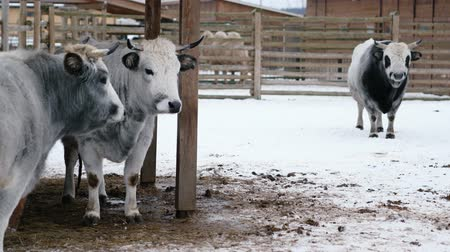 býci : Bull and cows stand on a winter ranch and look into the camera Dostupné videozáznamy