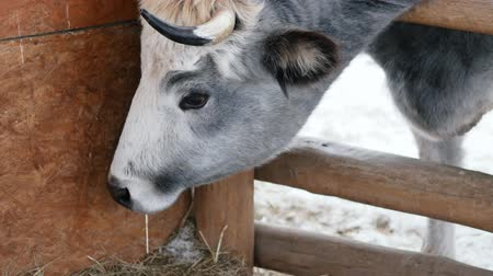 breeding season : A cow eats hay at the ranch, its head thrust over the fence. Barn, barn, livestock, farm, farmer