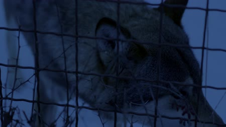 enclosure : Wolf with bright eyes in the dark behind the bars at the zoo. Close up