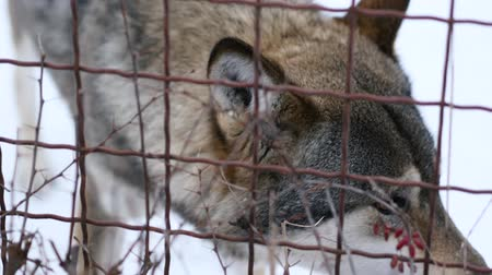 enclosure : Sad gray wolf in captivity behind the bars at the zoo. Close up Stock Footage